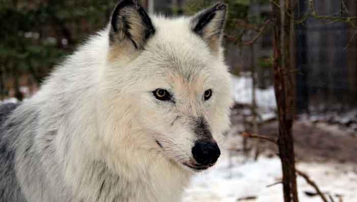 Wolf Dog Rescue Nj