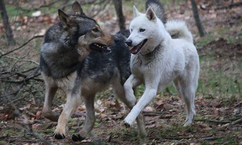 Northern Breed Wolfdogs, Howling Woods Farms, NJ Tel: (609