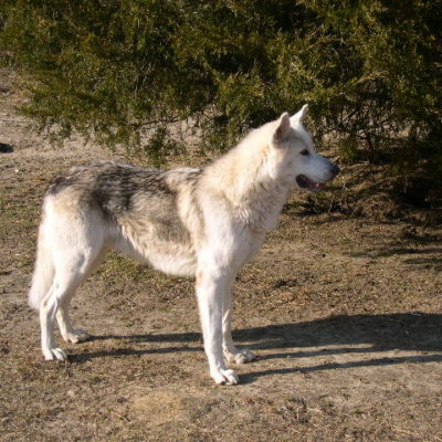 Jr. Jr. is a magnificient wolfdog who came from the Somerset County Animal Shelter in Maryland. He & Shasta are now living with a family in Hackettstown, NJ
