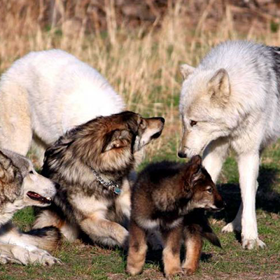 The Pack Takoda, Yuchi, Kotori, Ahote and pup Tokala. March 2010 Rate this file (current rating : 5 / 5 with 1 votes)