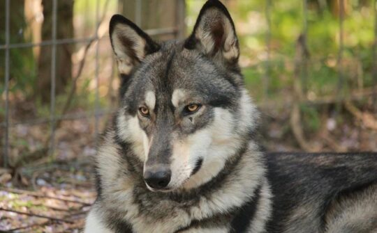 Howling Woods Farm Wolf Dog Adoptions Animal Rescue Jackson Nj