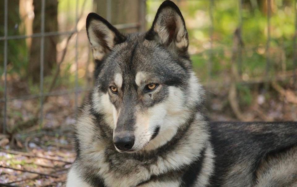 Howling Woods Farm, Wolfdogs Animal Rescue 501(c)(3) public
